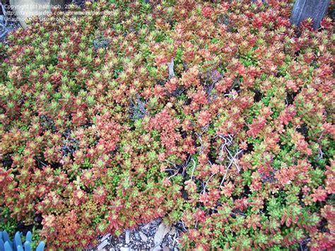 drought tolerant ground cover plantfiles pictures sedum species jelly bean sedum pork