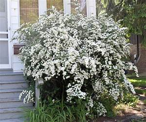 Different Types Of Spirea Bush  U2013 What Are Some Popular