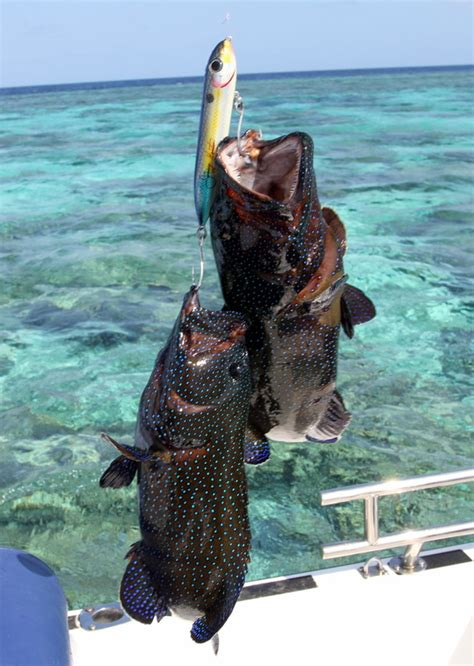 grouper catch reef fishing barrier groupers spook caught species enlarge below pages pic these howtocatchanyfish