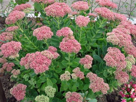 sedum plants hylotelephium spectabile sedum spectabile showy stonecrop world of succulents