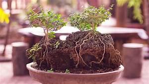 Orchideen Umtopfen Wurzeln Schneiden : bonsai schneiden 5 tricks die man kennen muss ~ A.2002-acura-tl-radio.info Haus und Dekorationen