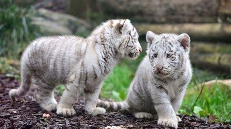 Fondos De Pantalla De Leones Tiger Wallpapers Allfreshwallpaper