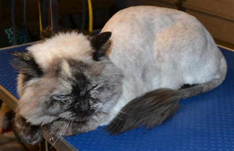 cat grooming gallery kylies cat grooming services part 122