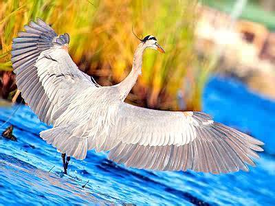great blue heron jigsaw puzzle jigzonecom
