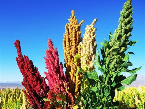 Kvinoja - namirnica snage i izdržljivosti - DOM INFO