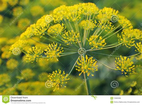 Dill Umbelliferous Aromatic Eurasian Plant Stock Photo