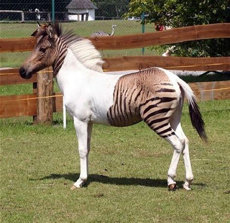 horse zorse zebra hybrid horses cross animals zebroid zebras donkeys animal mule between rare breeding donkey offspring pinto male ad