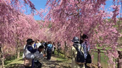 sakuras  paisajes japon youtube