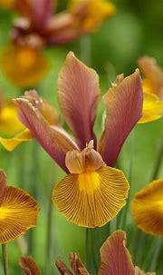 Image result for iris golden beauty | Dutch iris, Easy to ...