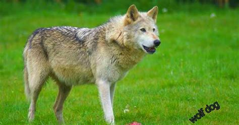 Characteristics And Information About The Dog Wolf