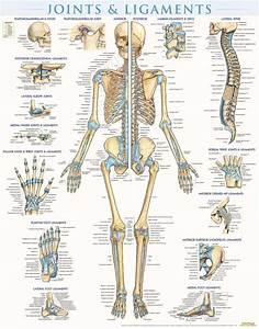 Quickstudy Joints  U0026 Ligaments Laminated Poster