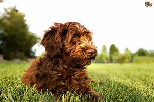 the top 5 most popular cross breed or hybrid dog breeds in the uk 2015