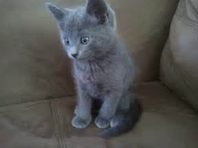 russian blue cat for russian blue cats kittens russian blue russian blue
