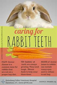 caring for rabbit or bunny teeth tips for pet owners