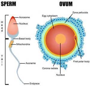 Egg and Sperm Fertilization Diagram