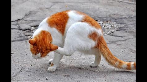 Plucni paraziti kod macaka, Plucni paraziti kod macaka.