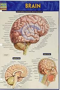 2016  Brain  Quick Study Academic  By Vincent Perez