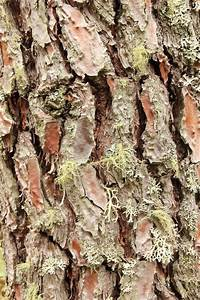 Pine Bark Extract  U2013 Pycnogenol