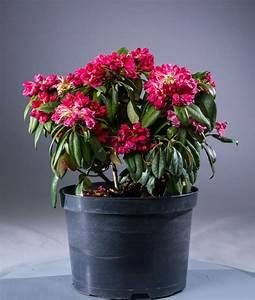 Kleinwüchsige Immergrüne Hecke : rhododendron morgenrot rhododendron yakushimanum ~ Lizthompson.info Haus und Dekorationen