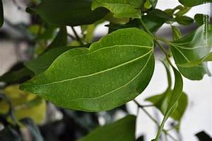 PlantFiles Pictures: Ceylon Cinnamon Tree (Cinnamomum ...