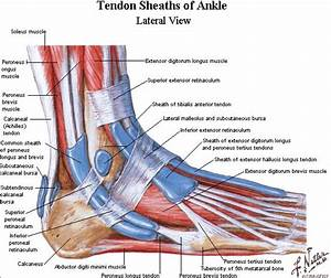 Tendons In The Foot