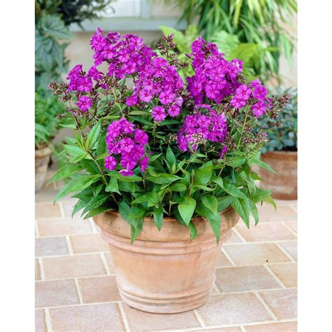 Bloomsz Phlox Nicky Tall Pack Of 3 09347 The Home Depot