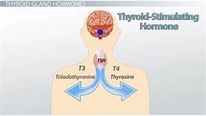 Thyroid Stimulating Hormone Blood Test Description Optimal