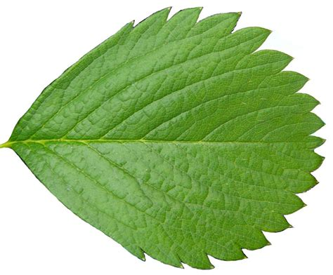 leaf plants pictures plant tree leaf stock cut out by enchantedgal stock on deviantart