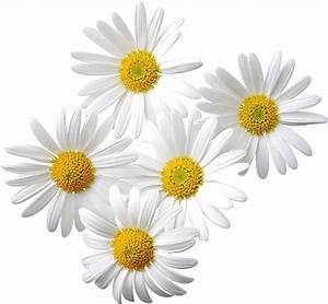 Pictures Of Daisies - Cliparts.co