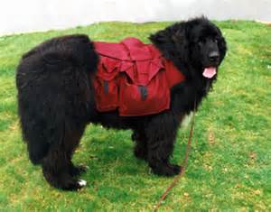 voyager newfoundlands learn about the newfoundland dog breed