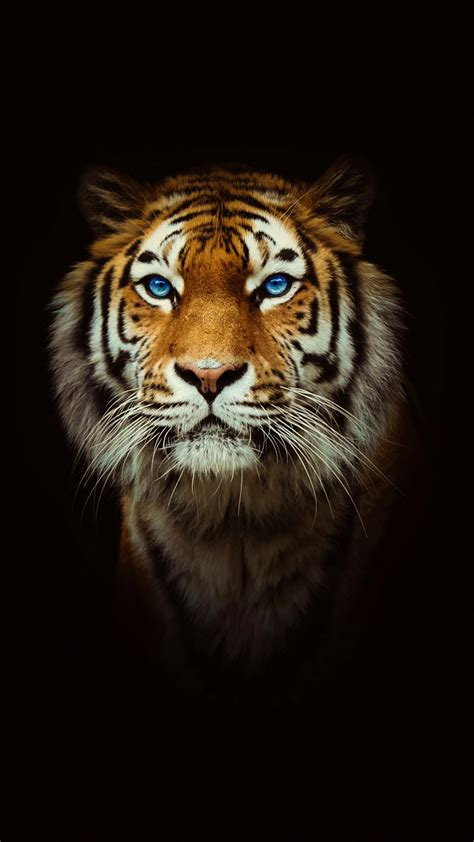 tiger wallpaper iphone gallery