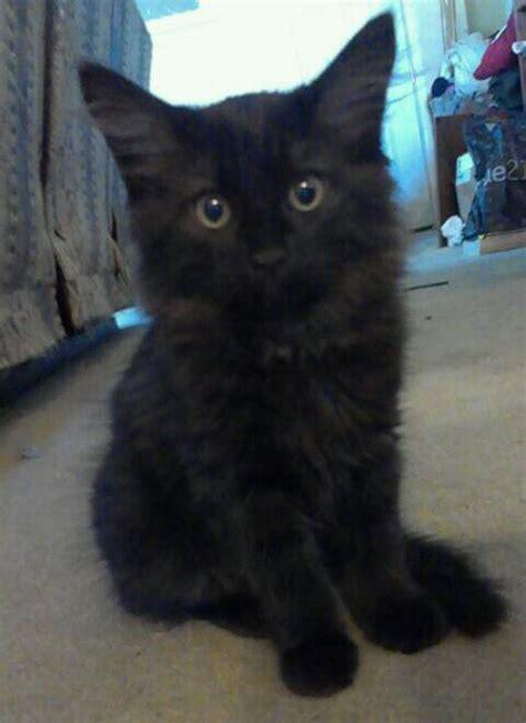 introducing   kitten   resident cat thriftyfun