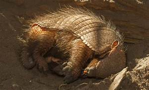 Surprising Facts About Armadillos That Will Leave You In Awe