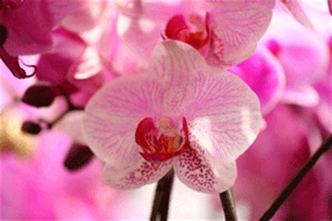 phalaenopsis orchid bloom cycle your orchid isn t dead it s resting
