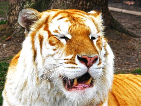 Golden Tiger The Tabby Fennecx
