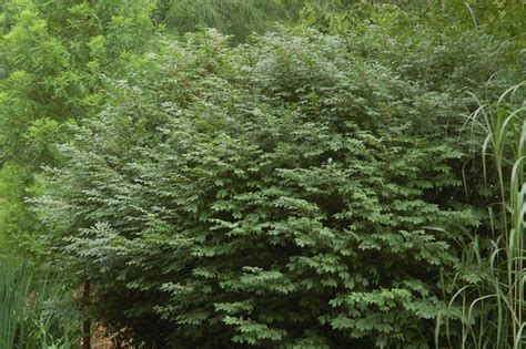 euonymus alatus burning bush plant image