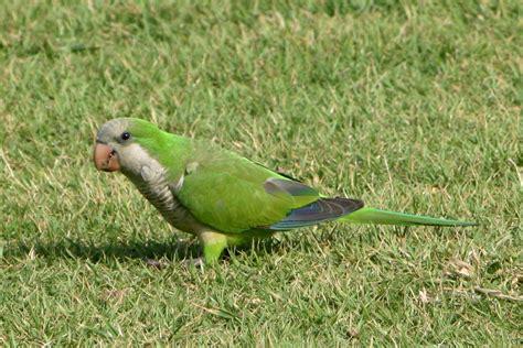 quaker parakeet animals birds creatures wild life sea side quaker parakeet