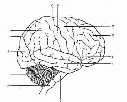 Brain Diagram Blank Coloring Human Anatomy System