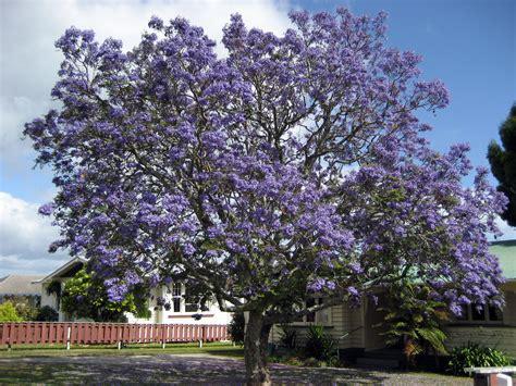 jacaranda tree file jacaranda1212 jpg wikipedia