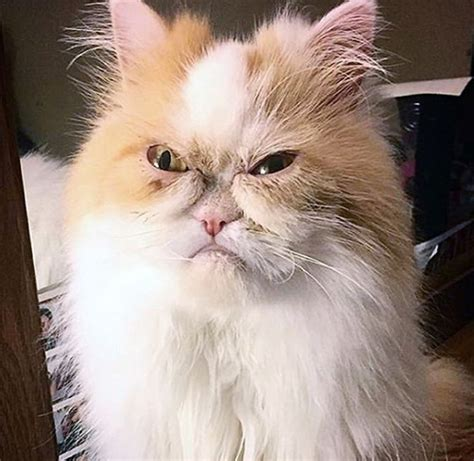 This Angry-Looking Persian Is Being Called The New Grumpy Cat