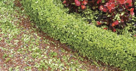 when to prune boxwood how to trim a box hedge ehow uk
