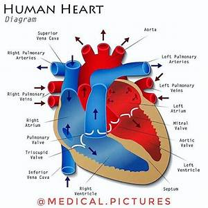 The 25  Best Human Heart Diagram Ideas On Pinterest