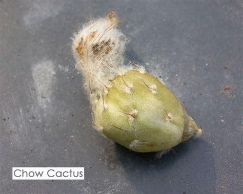 Chow Cactus: การเพาะเมล็ดแคคตัสแบบปิด ตามติดพัฒนาการตั้งแต่ก่อนและหลังการเพาะเมล็ด