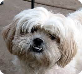 oakley ca shih tzu lhasa apso mix meet bess a dog for