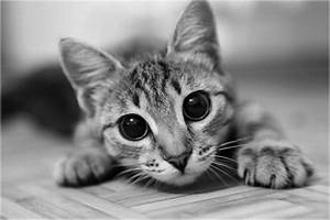 black and white, cat, cute, kitten - image #275755 on ...