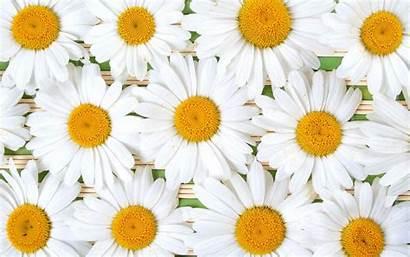 Daisy Background Desktop Backgrounds Resolution Windows Wallpapertag