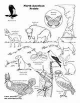 Prairie Habitat Grassland Habitats Zoology Coloringnature Desert Prarie Biome sketch template