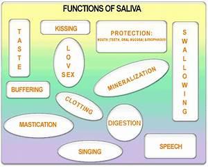 Functions Of Saliva