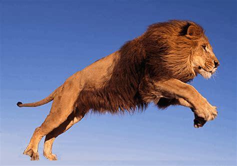 lion turning   tiger gif luvbat