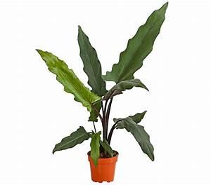 Tropische Pflanzen Kaufen : alokasie dehner garten center 9 99 pflanzen pflanzen pflege und tropische pflanzen ~ Watch28wear.com Haus und Dekorationen